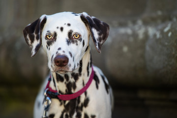 Dalmatian dog in the front of a house