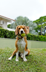 Beagle puppy with tennis ball in mouth.