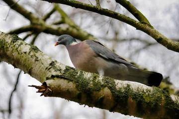 Portrait of dove bird on the branch
