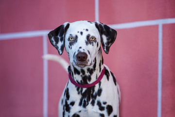 Young dalmatian dog in the front of a wall