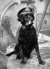 Retriever in Sailors Cap