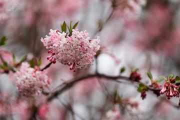 Branch of  Viburnum bodnantense Dawn flowering tree in the spring garden