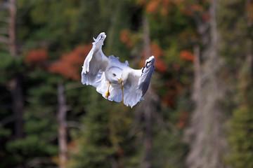Ring-billed Gull Peek-a-Boo