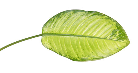 Large green leaf of tropical plant (Dieffenbachia seguine or dumbcane) isolated on white background