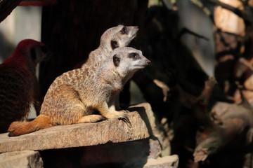 Full body of a wild African Meerkats.