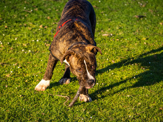 A young dog of the American staffordshire breed in spring in the field