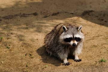 Close-up of full body sitting common raccoon