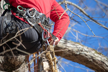 An arborist in a tree secures a carabiner to his climbing harness.