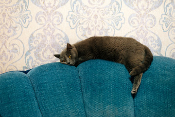 Lazy scottish cat lying down and relax on blue sofa