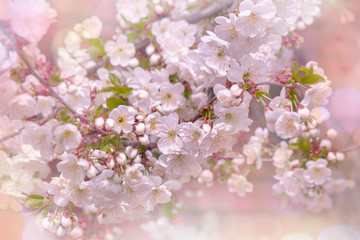 Hello Spring. Beautiful image of a flowering tree, the blur effect. Toned image, selective focus.