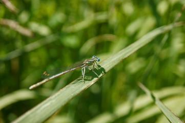 """Insekt - Libelle """"Speer-Azurjungfer"""""""