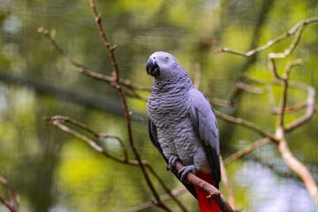 Papagaio Angolano