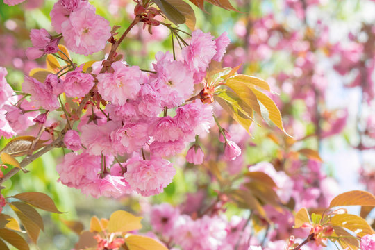 sakura tree in blossom. beautiful pink flower close up. background with blurred garden. sunny morning