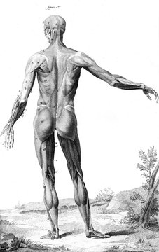 Muscles Anatomy 18th C