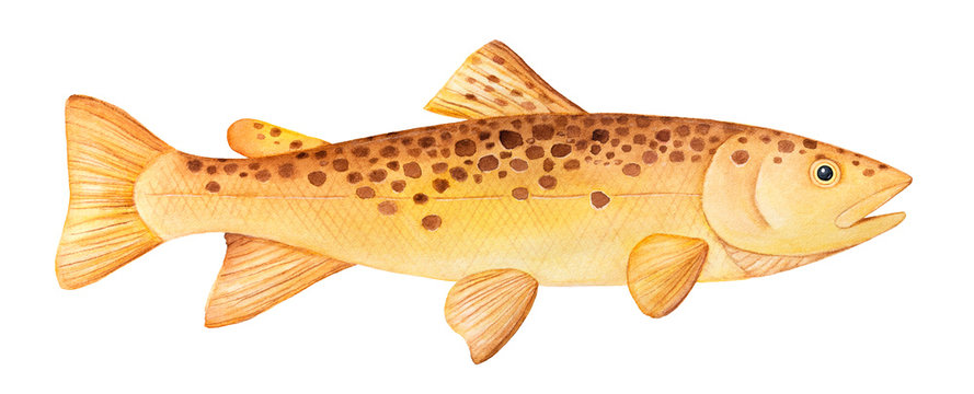 Brown Trout (Salmo trutta) watercolor illustration. One single fish, side view swimming, horizontal. Handdrawn water color painting on white background, cutout clipart element for design decoration.
