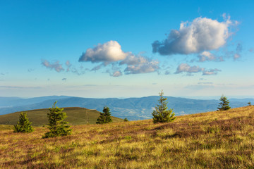 mountain scenery in summer afternoon. fluffy clouds on a blue sky above the distant ridge. spruce trees on a grassy alpine meadow. beautiful carpathian landscape in evening light