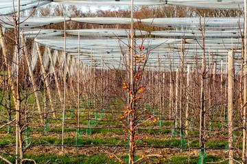 Reihe mit Obstbäumen und Schutznetz im Winter/Frühjahr