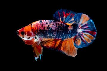 Betta fish Fight in the aquarium