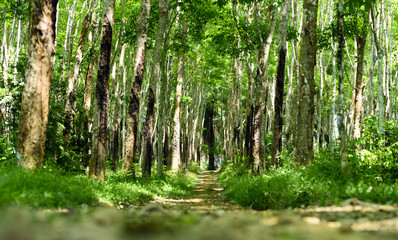 Stunning view of a path that passes between a green plantation of rubber trees (Hevea Brasiliensis) in Thailand.