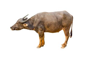 Buffalo isolated on the white background Thai Buffalo on white background Buffalo in thailand image