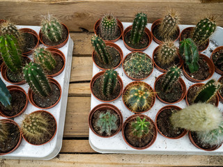 Set of types of room cactuses in pots. Various small cactuses on a counter of shop. Cactuses in a greenhouse