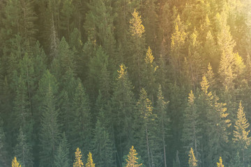 Background of green trees, slope of a mountain with fir trees in the sunlight.