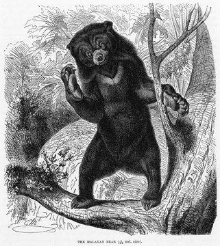 Malayan Bear