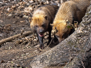 Two Bush dog, Speothos venaticus, looking for food