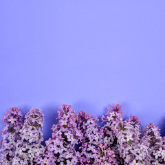 Blooming lilac flowers on purple background with copy space.