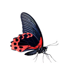 Tropical butterfly Scarlet Mormon (Papilio Rumanzovia) isolated on a white background.Large Swallowtail living in the Indonesia and Philippines.