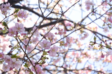 close-up Japan cherry blossom pink flower sakura branch nature background.