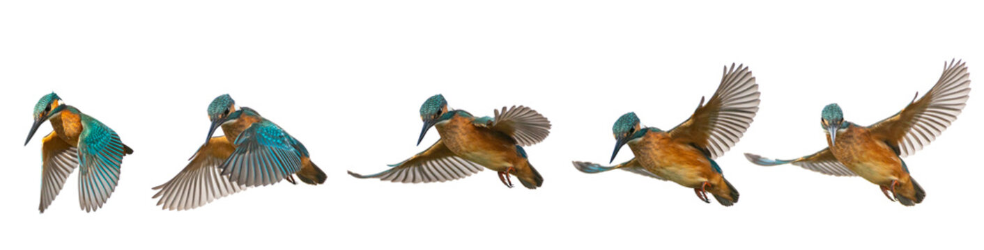 Collage of Common Kingfisher, Alcedo atthis, in flight isolated on a white background