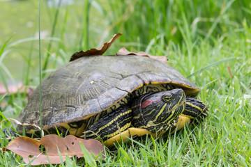 Turtle closeup image.