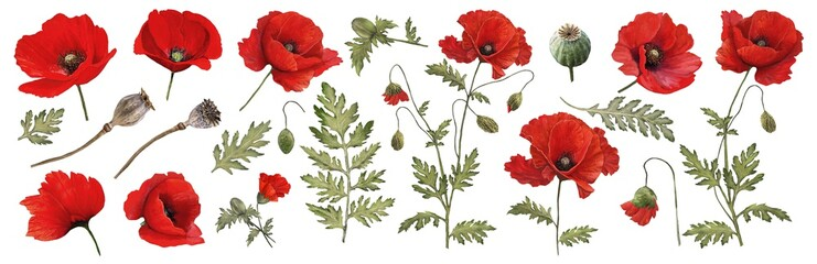 Obraz Red poppy. Watercolor. Botanical collection of garden and wild plants. Set: leaves, flowers, twigs,poppies, buds. - fototapety do salonu