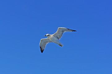 Seagull in flight against clear blue sky