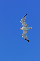 Seagull in flight against clear blue sky, bottom view