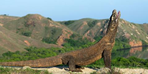 The Komodo dragon with opened a mouth. Biggest living lizard in the world. Scientific name: Varanus komodoensis. Natural habitat, Island Rinca. Indonesia.