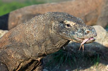 Komodo dragon with the  forked tongue sniff air.  Close up portrait. The Komodo dragon, scientific name: Varanus komodoensis. Indonesia. natural habitat. Rinca Island