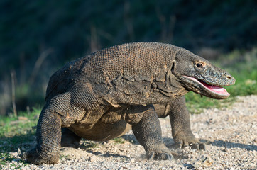 The Komodo dragon with opened a mouth. Biggest living lizard in the world. Scientific name: Varanus komodoensis. Natural habitat, Island Rinca. Indonesia.