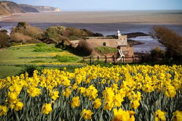 Daffodils at Sidmouth beach in Devon