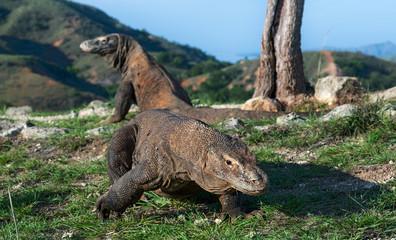 Walk of  Komodo Dragon. Scientific name: Varanus komodoensis.  Natural habitat. Rinca island. Indonesia.Indonesia.