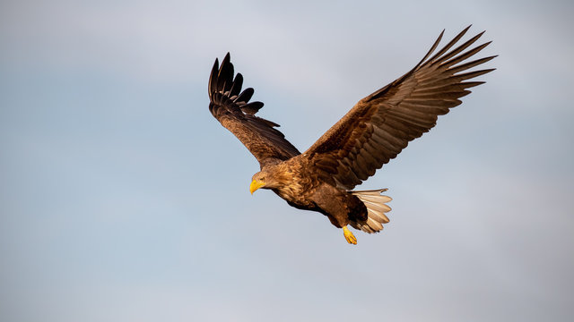 Adult white-tailed eagle, Haliaeetus albicilla, flying against sky with wings spread open looking down. Wild bird of prey in the air at sunset.