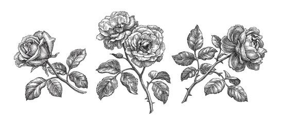 Three roses, hand drawn botanical illustration.