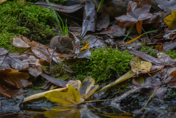 Vole Mouse forest Europe