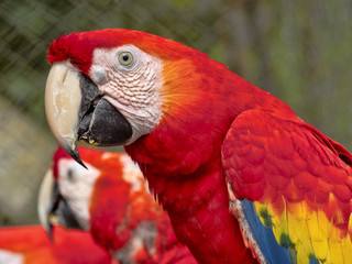Scarlet Macaw, Ara macao, is a large colorfully colored parrot, Guatemala