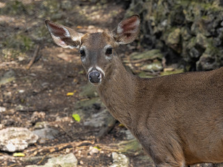White tailed deer, Odocoileus virginianus nelsoni, this subspecies lives only in Central America, Guatemala