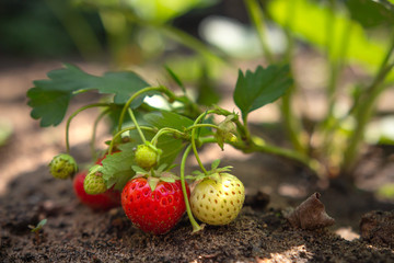 Strawberry berries are ripened on strawberry bush in the garden in the ground