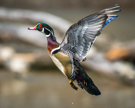 Wood duck in flight and swimming on the lake