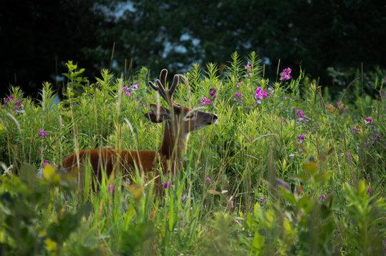 Deer smelling flowers