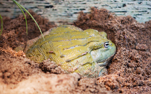 African Bullfrog. Reaches a length of 25 cm Width of the frog is almost equal to the length. It is widespread in East, Central and South Africa.